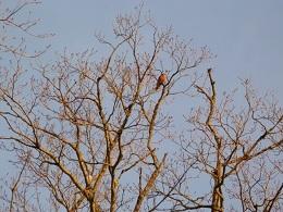 26_Cardinal rouge-p